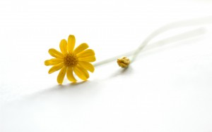 yellow-daisies-on-a-white-background-backgrounds-wallpapers